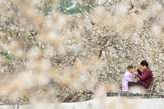 樱桃花的怒放让整个庭院好温馨 作者:泡鱼儿
