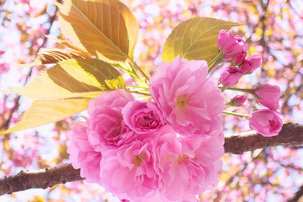 樱花施用源海生物有机肥的技术