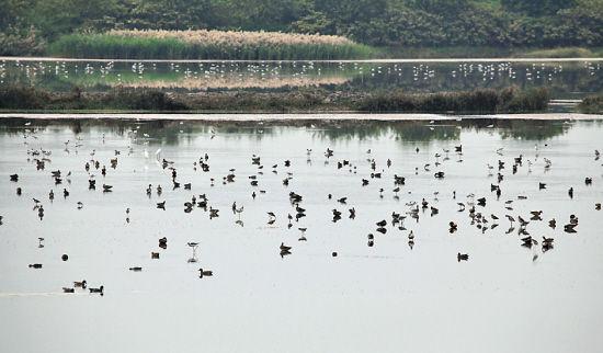 南沙湿地的滩涂成为候鸟觅食的乐园  景区供图