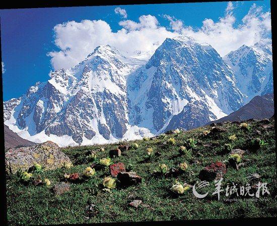 新疆天山博格达峰和天山雪莲 图/全景