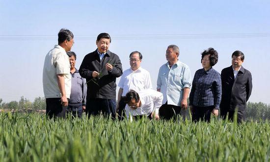 5月14日至15日,中共中央总书记、国家主席、中央军委主席习近平在天津考察工作。这是习近平在武清区南蔡村镇丁家𨟠村小麦生产大田察看小麦生长情况。新华社记者 兰红光 摄