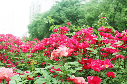 又到一年赏花季 北京月季观赏地推荐