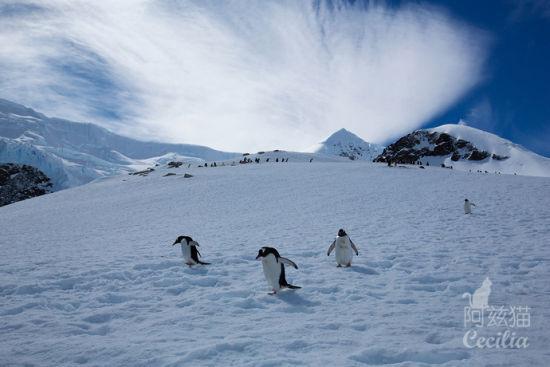 企鹅漫步 摄影:阿兹猫