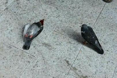 信鸽坠落而亡 同伴绝食昼夜守护16小时
