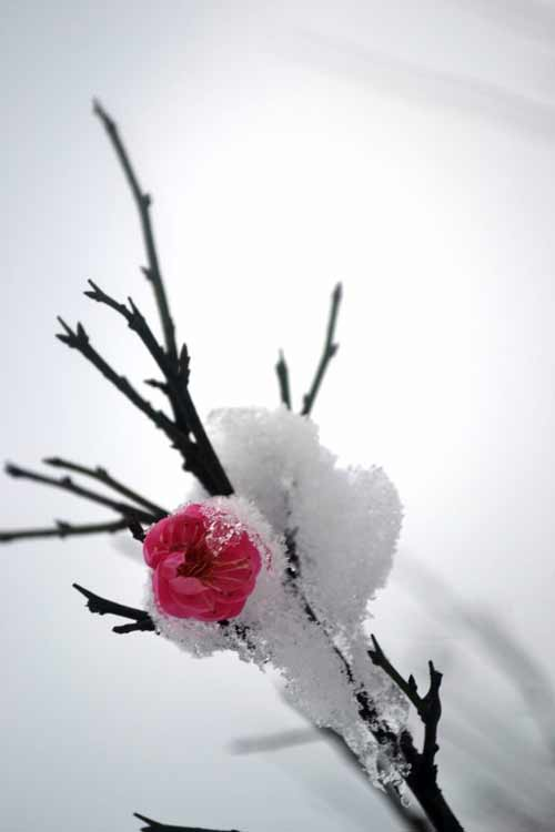 江西初雪 料峭寒梅