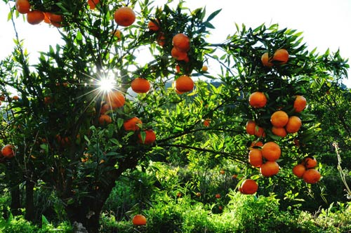红橙橙的桔子挂满了枝头 呈现出丰收的希望