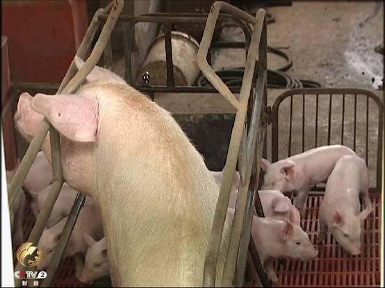 养殖户留下的种猪