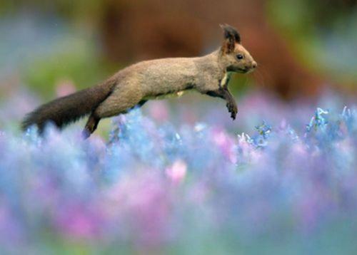 小松鼠在花间欢跳觅食 灵动可爱引人争睹