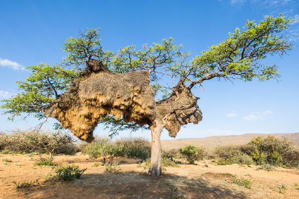 The bird nest in the African continent is believed to be the largest one in the world.