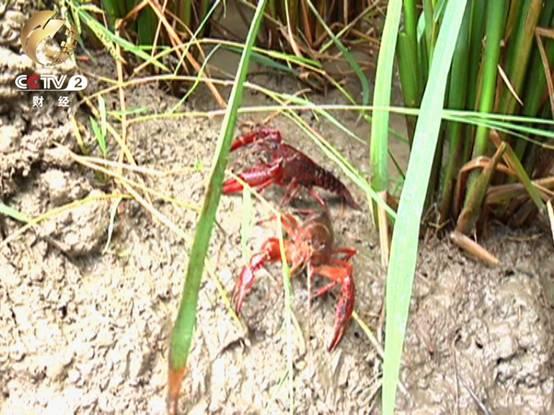 稻田养虾 每亩地纯收入3000元以上
