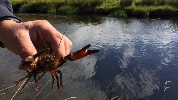 小龙虾入侵苏格兰 网友 中国吃货拯救世界