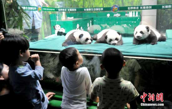 The only living panda triplets made their first public appearance in Guangzhou.