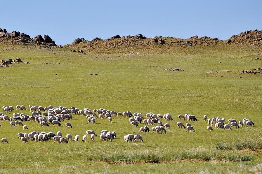 蒙古羊群简笔画