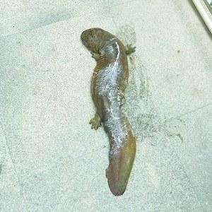 国家二级保护动物娃娃鱼