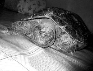 宋家政发现的百岁老龟(图片来源:新华网)