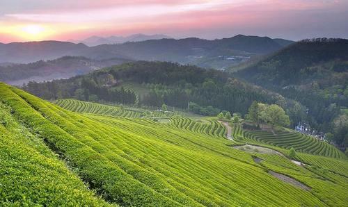 《贵州茶香》