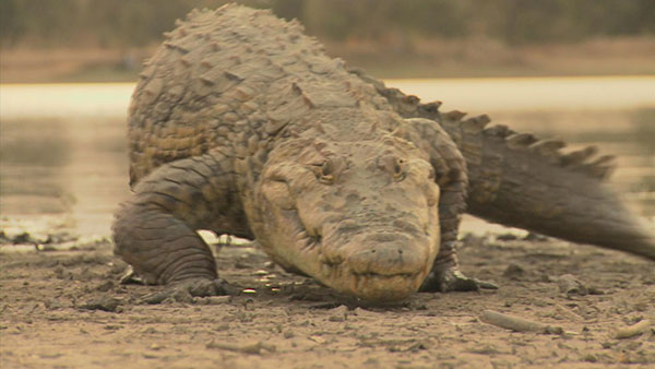 For many generations the villagers have lived harmoniously with about 200 wild crocodiles.