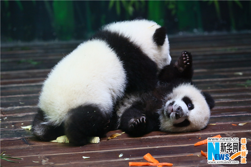 The playful panda triplets at China's Chimelong Safari Park are the only surviving panda triplets on Earth right now.