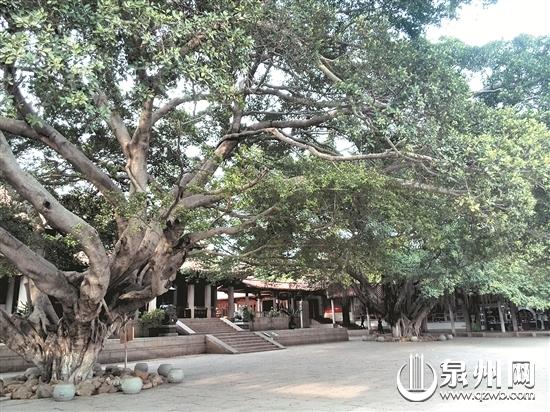 泉州少林寺朝音树如同虔诚聆听的善男信女