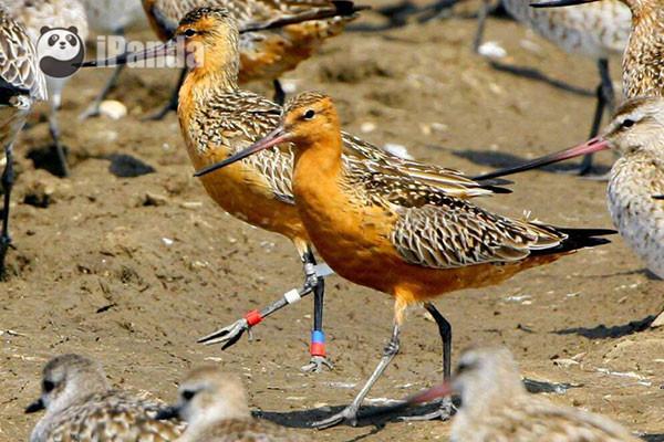 带环志的鸟 柳明玉 摄   那给这些被选中的鸟儿做了标记之后有什么有意思的发现呢?其中之一就是,原来鸟儿也会恋旧,有自己固定会去的休息地点!以在丹东鸭绿江口停留的候鸟为例,斑尾塍鹬和大滨鹬一般在鸭绿江口湿地东半部,小青脚鹬一般在保护区东部或者西航道。白清泉老师曾经连续6年在同一地点观测到同一只迁徙鸟15次,可见其执着……   当然,并不只是某只特定的鸟喜欢呆在固定的地方,在迁徙路线的选择上,各种鸟类都有自己的偏好。斑尾塍鹬选择的路线不是近期形成的,可能是上百万年进化形成的路线