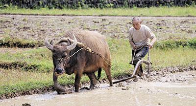 贵州省玉屏县亚鱼乡瓮袍村的一位村民在驱使水牛犁地.-贵州加快春
