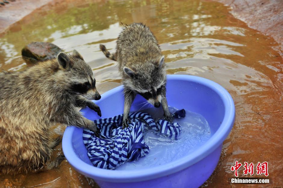 """4月29日,正在""""洗衣服""""的浣熊。在五一国际劳动节来临之际,云南野生动物园推选出两位勤奋的明星""""劳模"""",介绍给游园的观众认识。中新社发 刘冉阳 摄"""