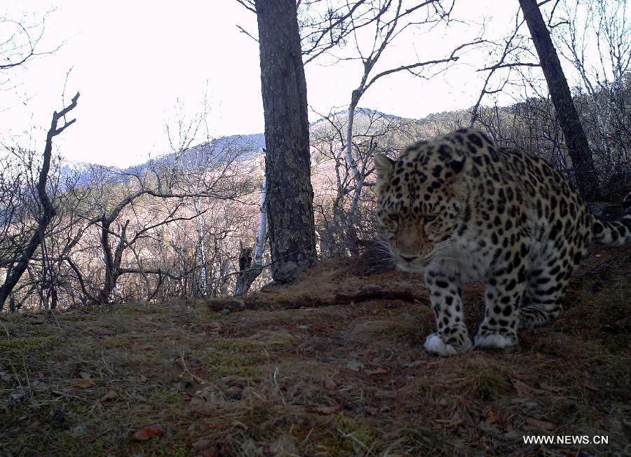 На северо-востоке Китая инфракрасные камеры запечатлели дальневосточного леопарда
