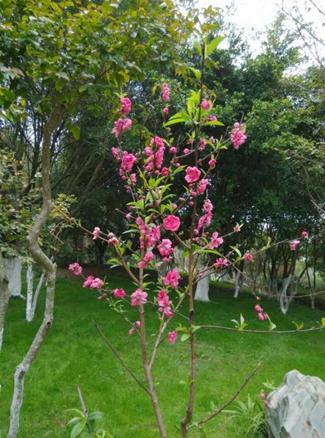 木棉树上开满了木棉花,它红得非常奇特,花朵是那样大,像一只只火红