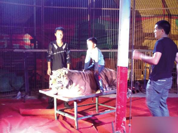 同安叫停一非法马戏团表演:动物受虐待
