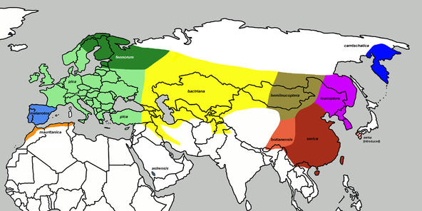 喜鹊的分布,不同亚种用不同颜色标出,大图在这里。(图片来源:wiki commons)