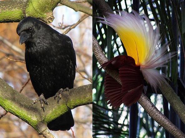 喜鹊的亲戚:小嘴乌鸦和大极乐鸟。同是鸦科,差别是不是很大?不过仔细看,小嘴乌鸦也还挺萌的呢。(图片:wiki commons