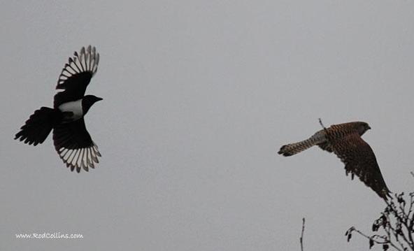 一只雌性红隼被喜鹊驱赶中。(图片:Rod Collins)