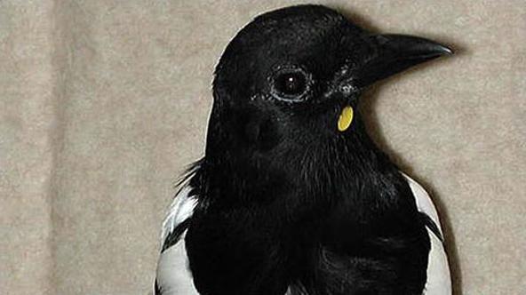 喜鹊在镜子里看见自己下巴上的圆纸片后会想办法把它蹭掉。(图片:BBC)