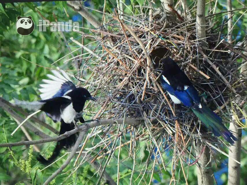 喜鹊夫妇共同筑巢哺育幼鸟 王振供图