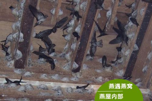 食物丰富,是金丝燕第一次做窝,具有最高的营养价值.而二期和三
