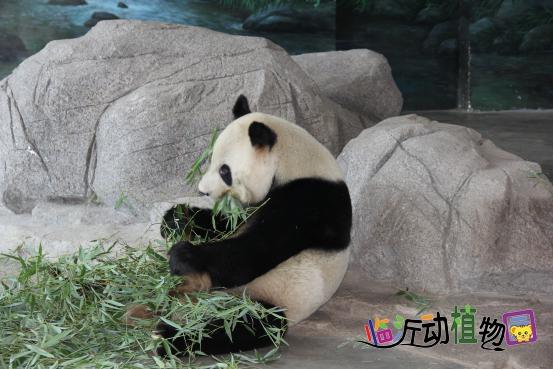 panda),属于食肉目,熊科,大熊猫属的一种哺乳动物,是世界上最可爱的