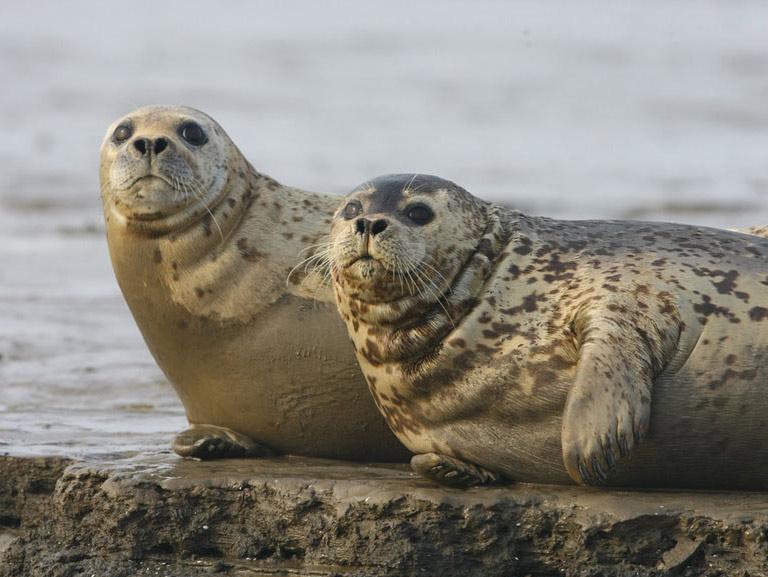 Архив:Полосатого тюленя обнаружили в бухте Владивостока