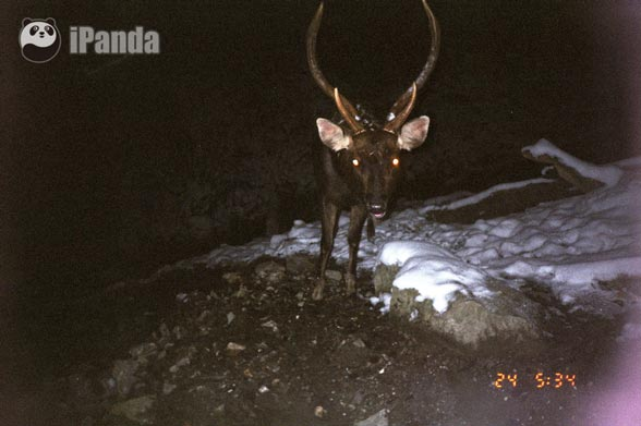 属于鹿科动物,国家二级保护动物;扭角羚