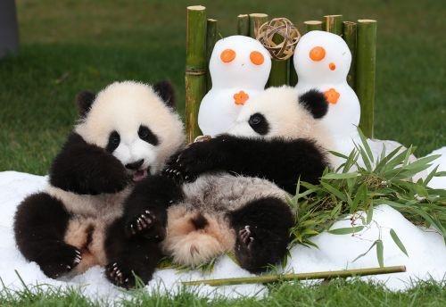 """动物公园""""冒险世界""""出生的双胞胎大熊猫""""樱滨""""和""""桃滨""""于本月2日迎来"""