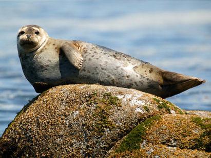 Архив:На Дальнем Востоке в естественную среду обитания выпустили 3 тюленей после реабилитации