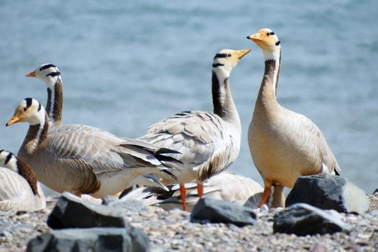 鸟岛景区蛋岛上的斑头雁 崔永焘 摄