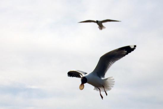 一只海鸥敏捷地叼住游客抛向空中的饼干 崔永焘 摄