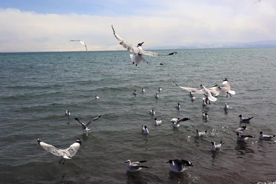 鸬鹚岛上的海鸥 崔永焘 摄