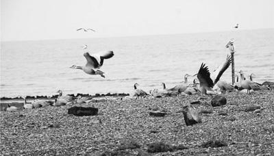 在青海湖繁衍的夏候鸟大都以湟鱼为食 王 梅摄