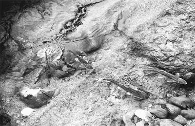繁殖期中的湟鱼 在沙柳河中逆流而上 赤 兔摄