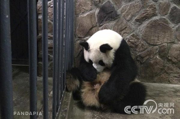 В китайском центре по разведению панд родились близнецы