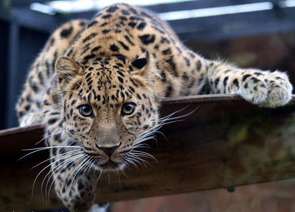 Архив: Дальневосточный леопард