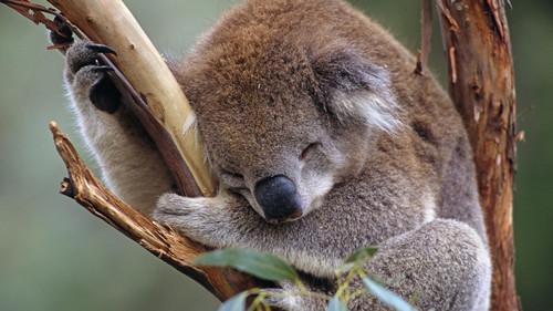 考拉为什么爱睡觉?