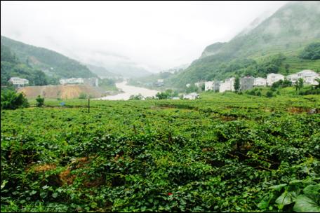 有机肥持续改良土壤,猕猴桃连年丰产创收