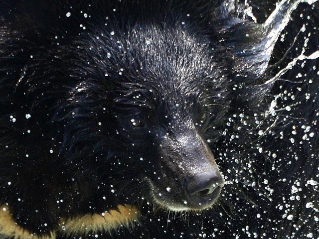 Забайкальский пляж посетил цирковой гималайский медведь